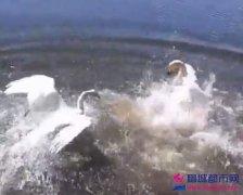 俄罗斯男子游泳遭天鹅围攻视频  周边的人一片笑声