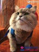 胖猫成网红猫   长相十分讨喜